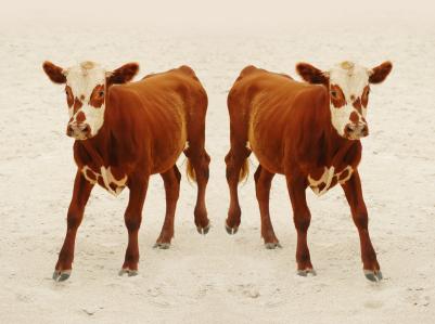 Clone Cows
